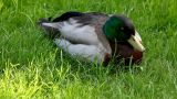 Duck sit on grass Stock Video Footage