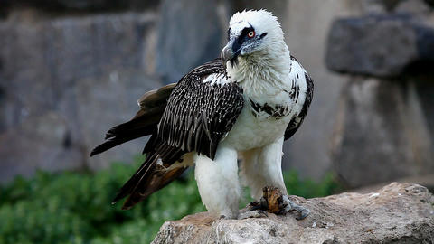 bearded Vulture eat meat Stock Video Footage
