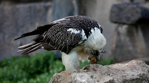 bearded Vulture eat meat Footage