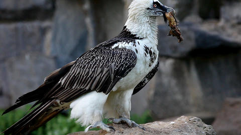 bearded Vulture eat meat Stock Video Footage
