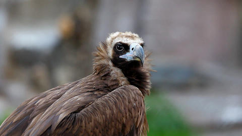 black vulture head Stock Video Footage