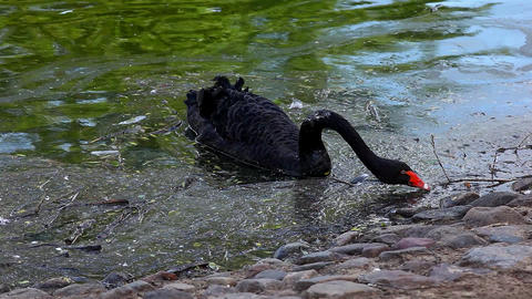 black swan swim in dirty lake Footage