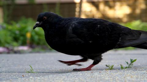 Pigeons Stock Video Footage