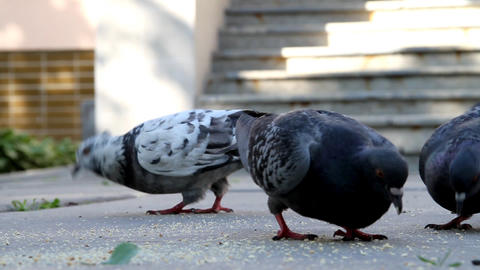 Pigeons Stock Video Footage