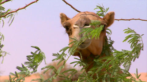 camel watch behind a tree Stock Video Footage