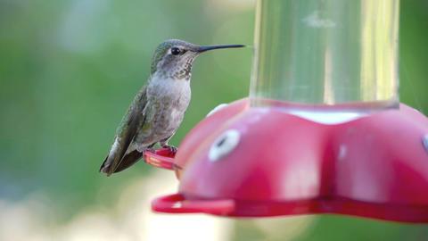 Hummingbird Stock Video Footage