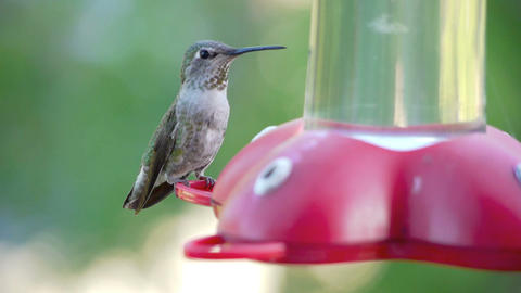 Hummingbird Footage
