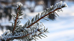 Snow on spruce branches Footage
