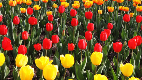 tulip1 Stock Video Footage