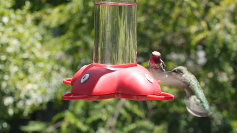 Hummingbirds Footage
