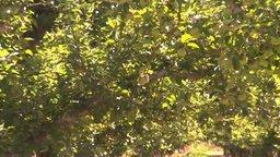 HD2008-8-2-29 apple orchard Z Stock Video Footage