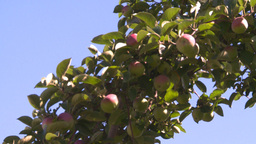 HD2008-8-2-31 apple orchard Z Stock Video Footage