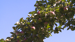 HD2008-8-2-31 apple orchard Z Footage