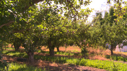 HD2008-8-2-33 apple orchard Stock Video Footage