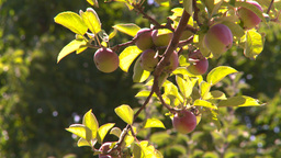 HD2008-8-2-35 apple orchard Stock Video Footage