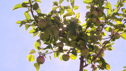 HD2008-8-2-37 apple orchard Z Stock Video Footage