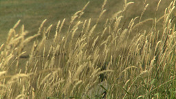 HD2008-8-3-8 wild grass in the wind Stock Video Footage