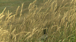 HD2008-8-3-8 Wild Grass In The Wind stock footage
