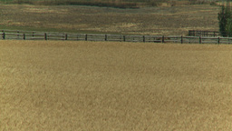 HD2008-8-3-36 ripe wheat Stock Video Footage