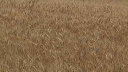 HD2008-8-3-38 ripe wheat Stock Video Footage