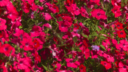 HD2008-8-4-20 hummingbird Footage
