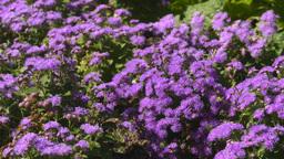 HD2008-8-4-22 mauve flowers Stock Video Footage