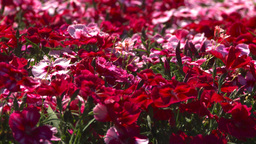 HD2008-8-4-24 red flowers Stock Video Footage