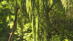HD2008-8-4-28 weeping willow Stock Video Footage