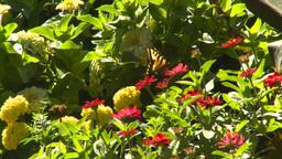 HD2008-8-4-30 butterfly flowers Stock Video Footage
