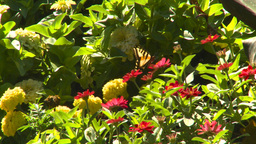 HD2008-8-4-30 butterfly flowers Footage