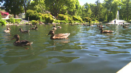 HD2008-8-4-38 water ducks Stock Video Footage