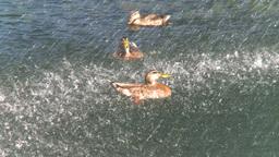 HD2008-8-4-39 water fountain ducks Footage