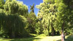 HD2008-8-4-41 weeping willow Stock Video Footage