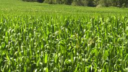 HD2008-8-4-49 corn field Footage