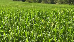 HD2008-8-4-49 corn field Stock Video Footage