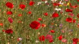 HD2008-8-8-29 Poppy Field stock footage