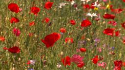 HD2008-8-8-29 poppy field Stock Video Footage