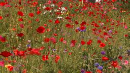 HD2008-8-8-31 flowers Footage