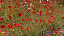HD2008-8-8-31 flowers Stock Video Footage