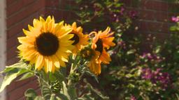 HD2008-8-8-33 sunflowers Footage