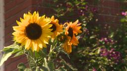 HD2008-8-8-33 sunflowers Stock Video Footage