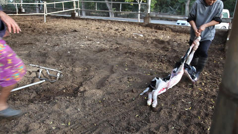 A calf is born and pulled with the help of veterin Footage