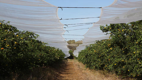 Plastic net protects fruits of citrus trees from h Footage