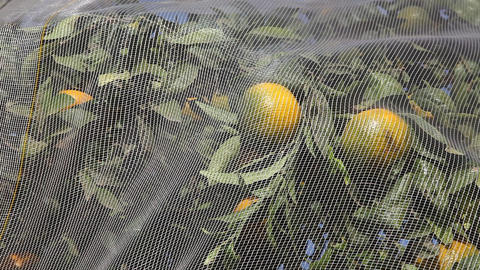 Plastic Net Protects Fruits Of Citrus Trees From H stock footage