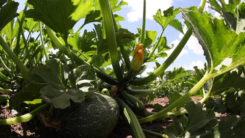 Squash plant in the garden Footage