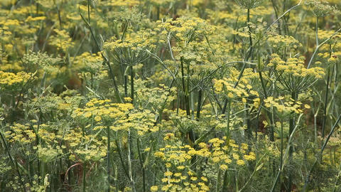 Bees in Fennel field with yellow flowers Footage