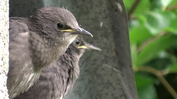 Young Starlings stock footage