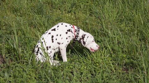 Dalmatian Footage