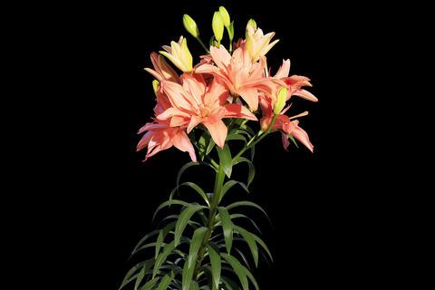 4K. Blooming orange lily flower buds ALPHA matte Footage