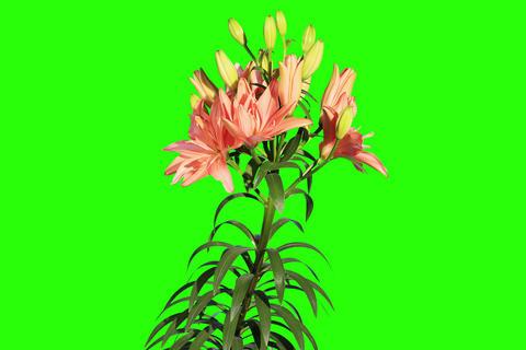 4K. Blooming orange lily flower buds green screen Footage